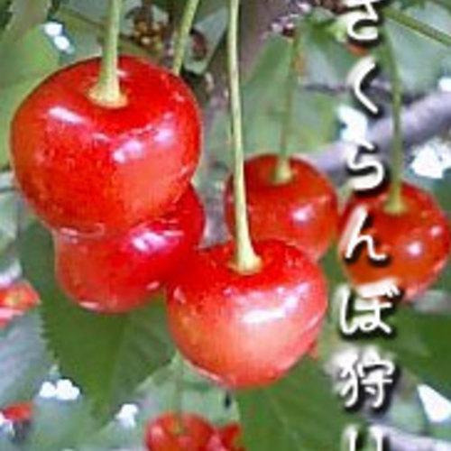 小野洋蘭果樹園さくらんぼ狩り団体予約