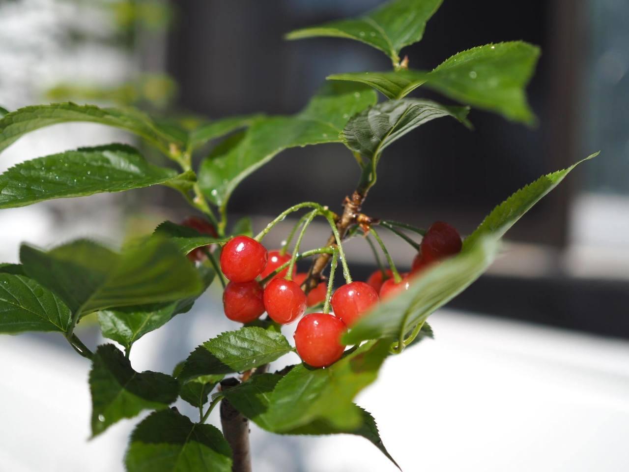 小さなさくらんぼ盆栽