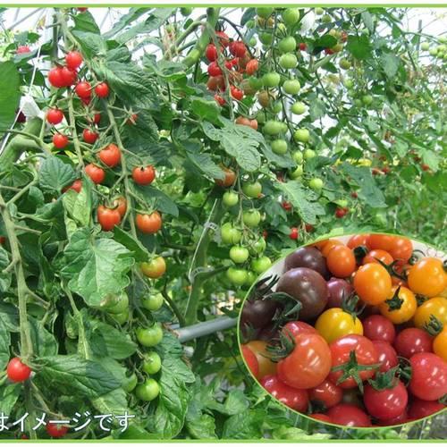 ビニールハウスでトマトを収穫しよう