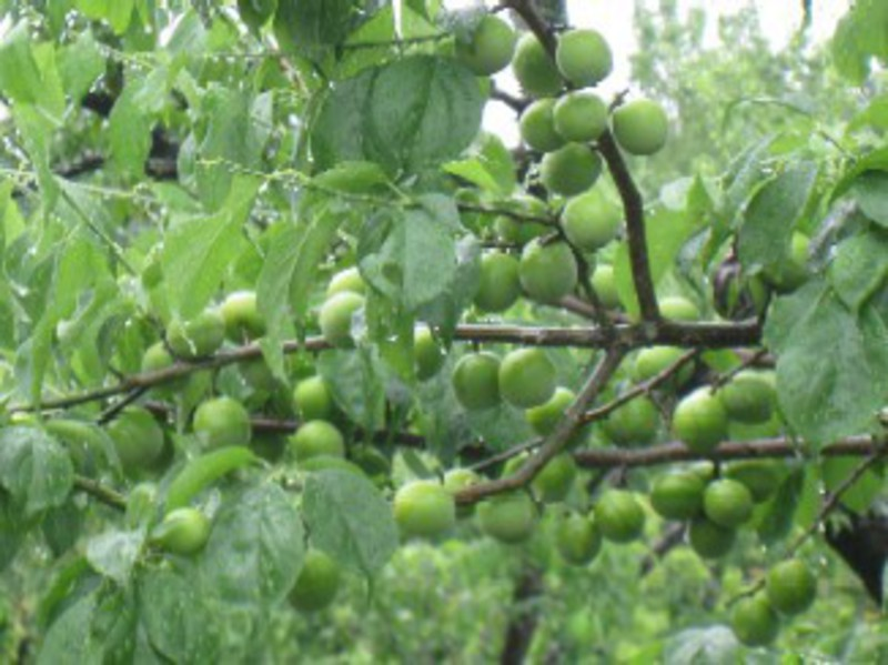 梅の実採り