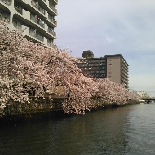 城北川さくら Shirokita
