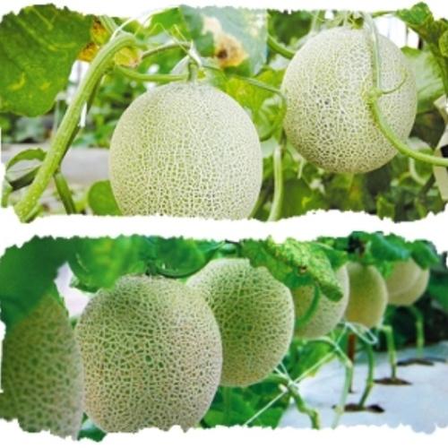 【熊本でメロン収穫体験】