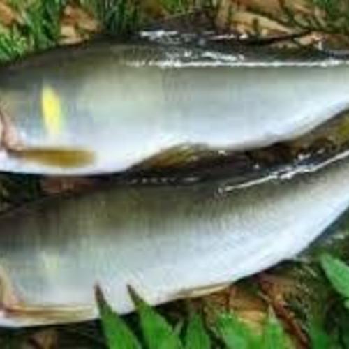 初夏の香り 鮎を学ぶ 鮎ご飯を作ろう!