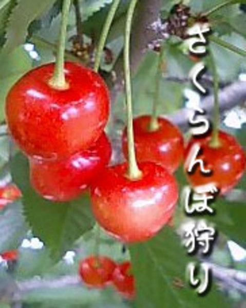 小野洋蘭果樹園さくらんぼ狩り予約