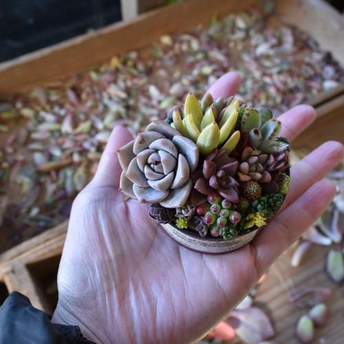 多肉盆栽の寄せ植え講座