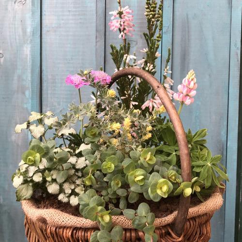 【3月】春がいっぱい!カゴの寄植え