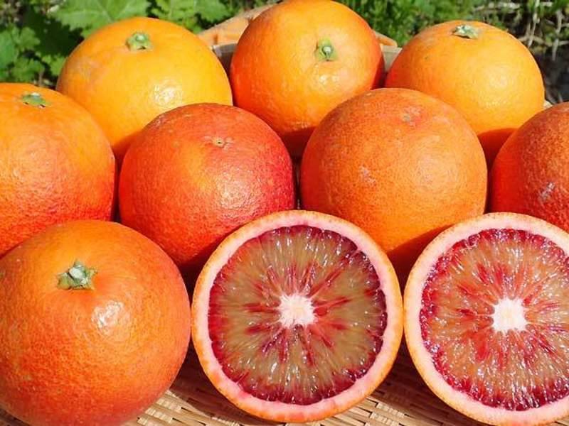 ブラッドオレンジ「モロ」 収穫祭 WEB申し込み