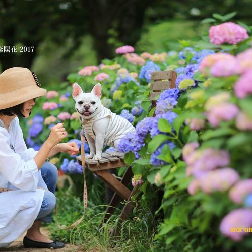 夙川・新緑と紫陽花と愛犬撮影会2017••終了致しました••