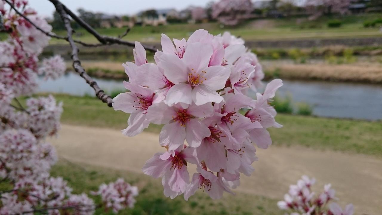 桜を見ながらネイチャーウォーキング