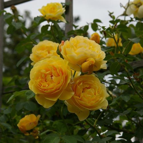 Yellow Petal(実践講座)