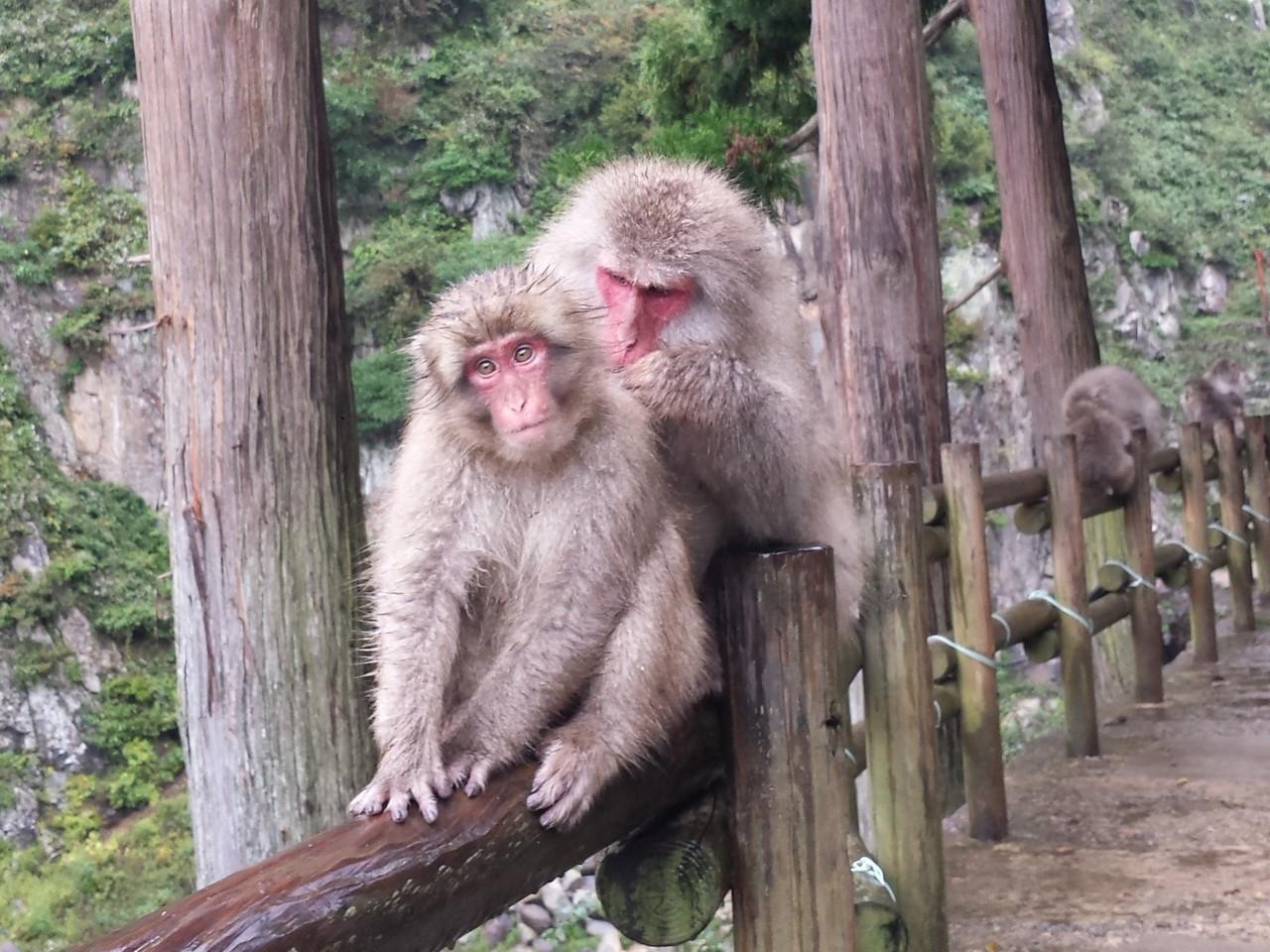 Jigokudani Monkey Tour