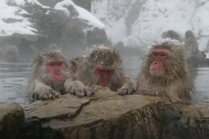 Jigokudani Monkey Tour
