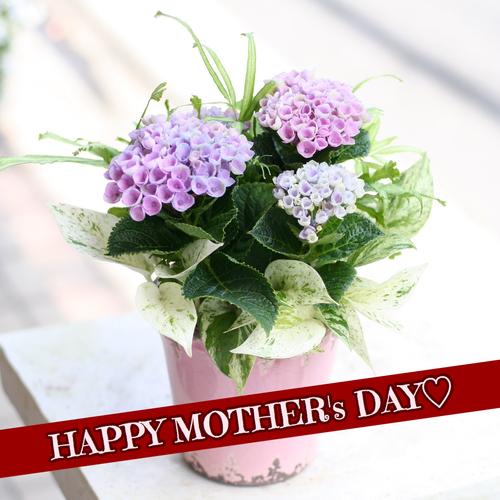 【母の日に贈る〜テーブルアジサイの寄せ植え〜】5月6日(月・祝)リノアス母の日イベント