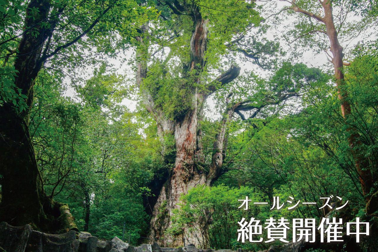 神秘の巨木『縄文杉』に会いに行こう!