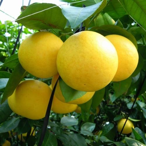 グレープフルーツ収穫祭