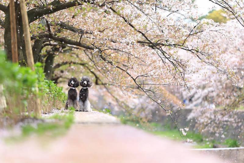 春の愛犬撮影会 夙川と愛犬とサクラ色2017