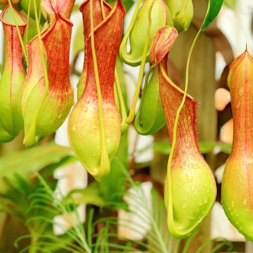 【8月】Dr.滝口の夏休み自由研究企画! 食虫植物ワークショップ