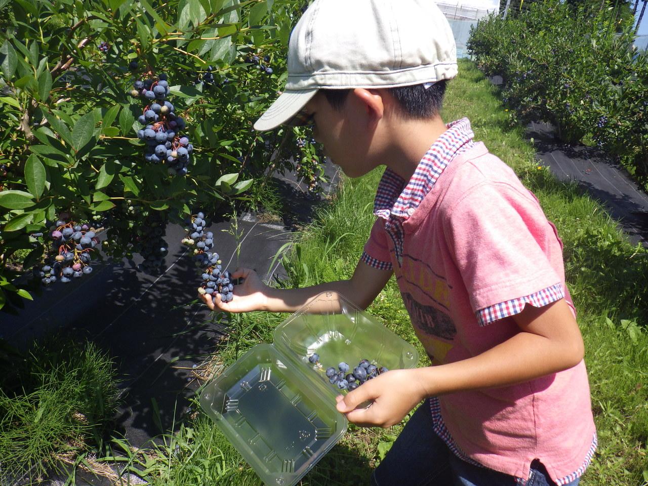 果樹園でブルーベリーを収穫しよう