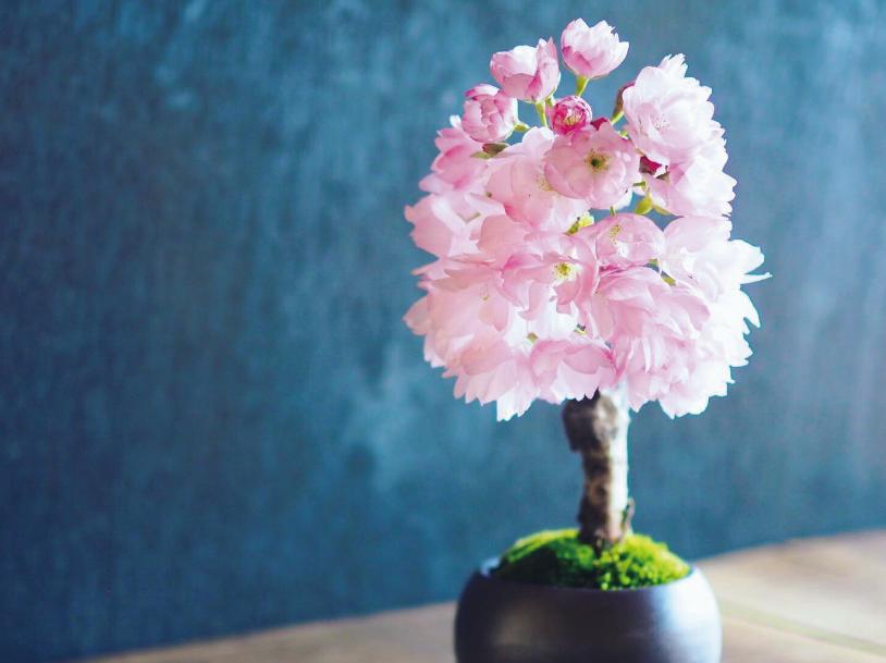 小さな桜の盆栽教室