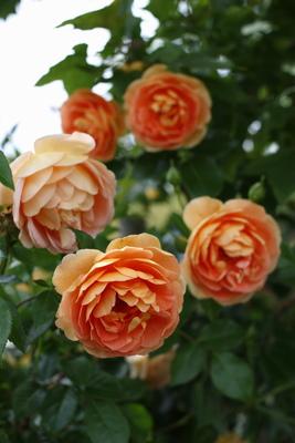 【池袋4/23】「バラのある豊かな暮らし」/講師 後藤みどりさん