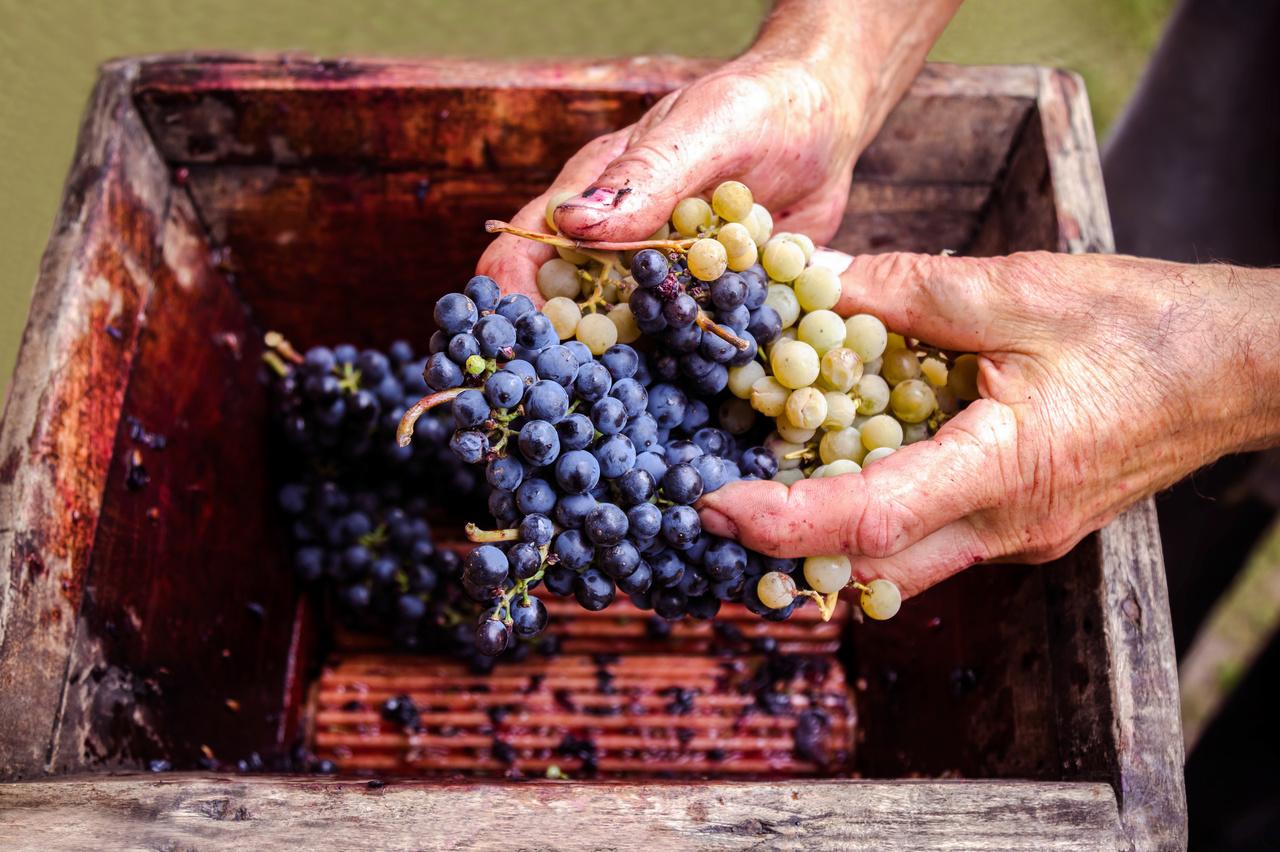ブドウの基本品種