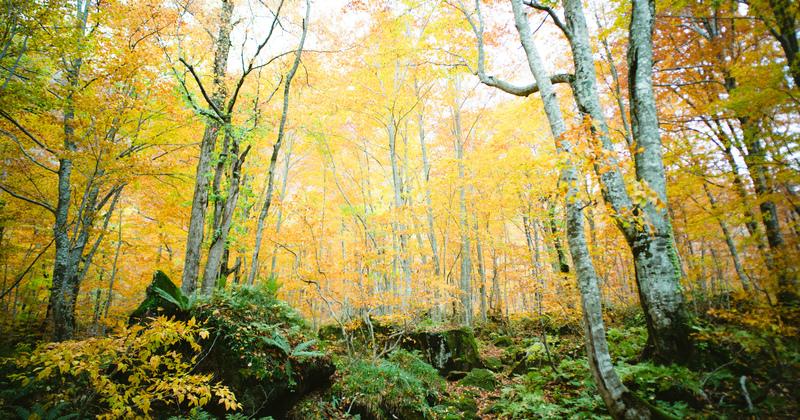 世界遺産白神山地・藤里町での2泊3日(朝食付き)ブナの森ハイキング体験付きプラン