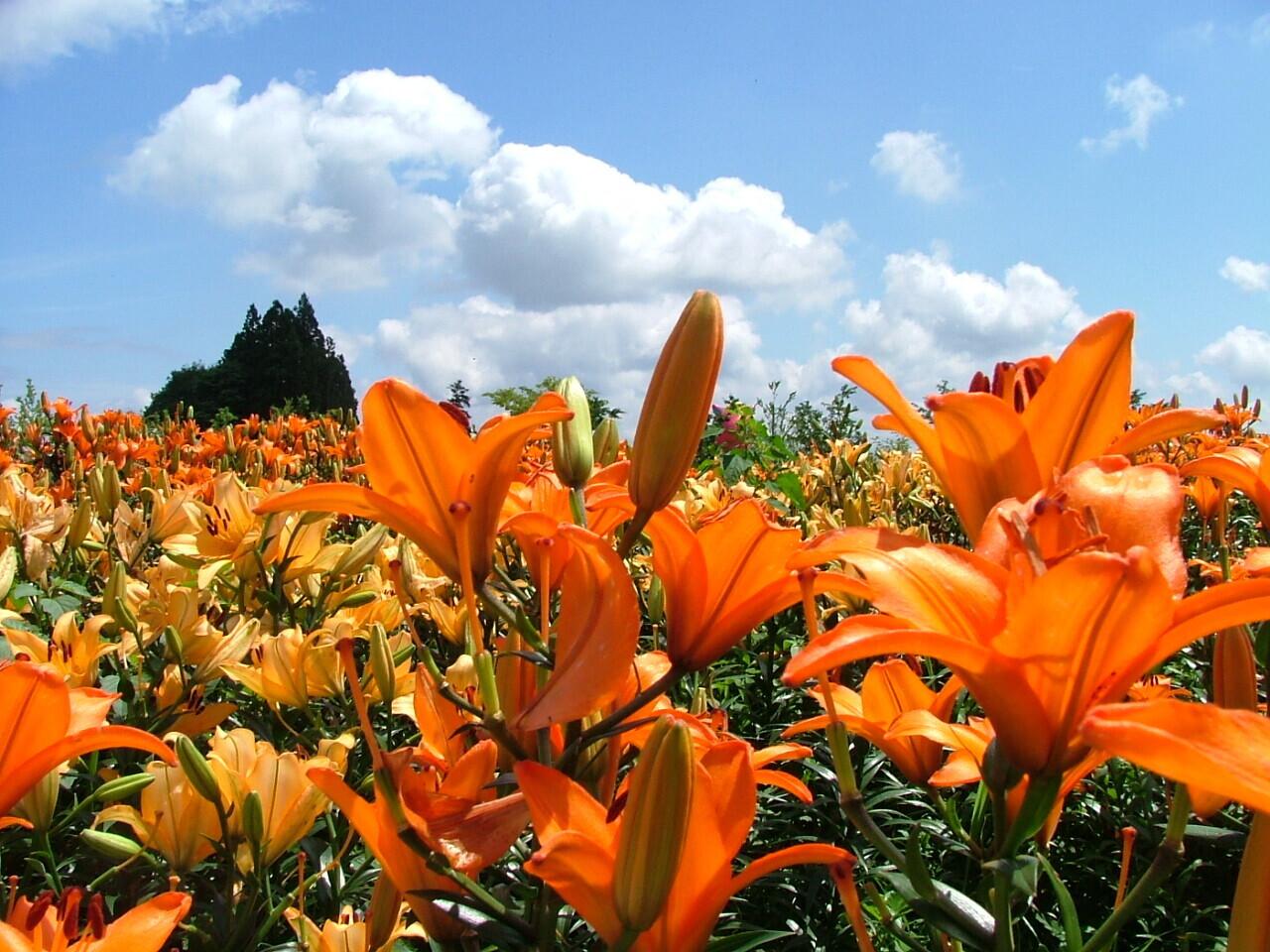 飯豊町編 地元ガイドと巡る「花×伊達な城館ウォーク・どんでん平ゆり園と日本一の田園原風景トレッキング」