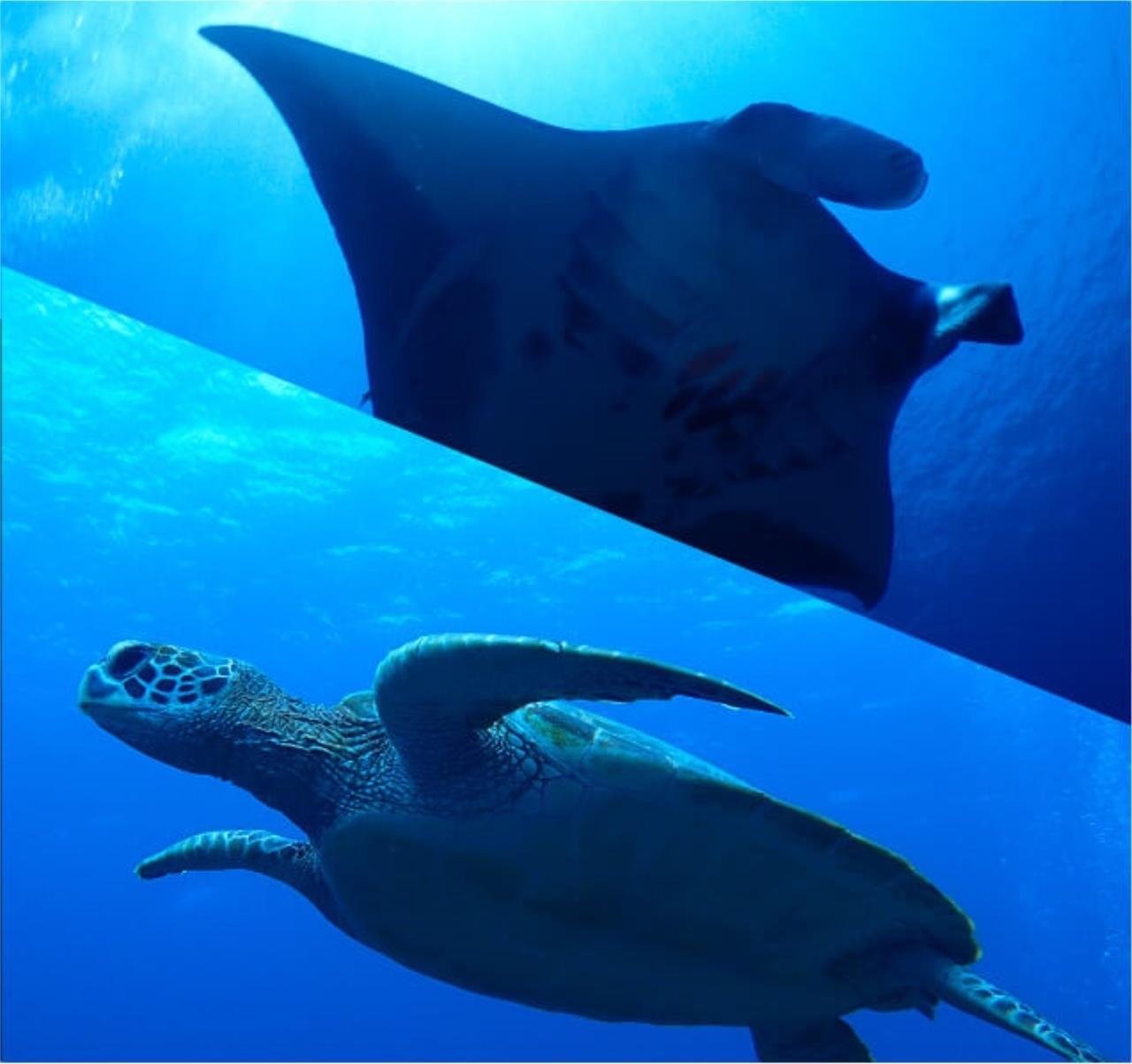 【半日/AMまたはPM】幻の島上陸+マンタ・海ガメ大物シュノーケル+サンゴ礁シュノーケルコース