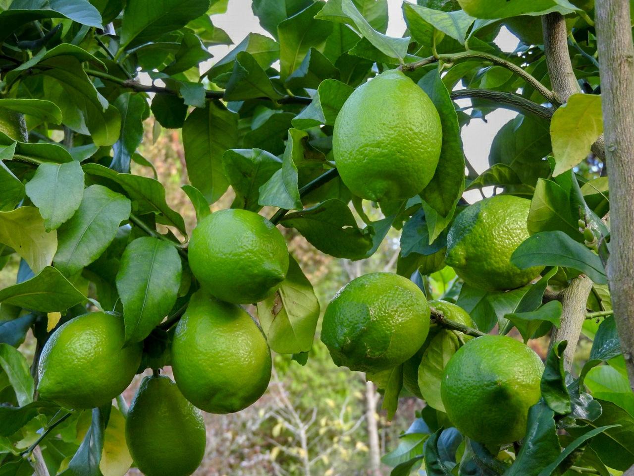 【農園風緑】農薬不使用グリーンレモン収穫体験