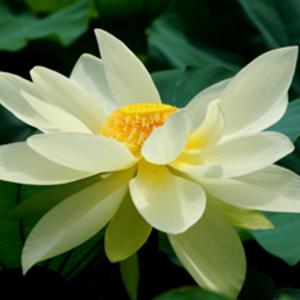 Atelier Lotus (アトリエ・ロータス)